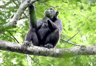 See Chimpanzees in Nyungwe Forest