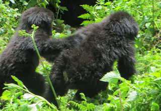 Twin Gorillas